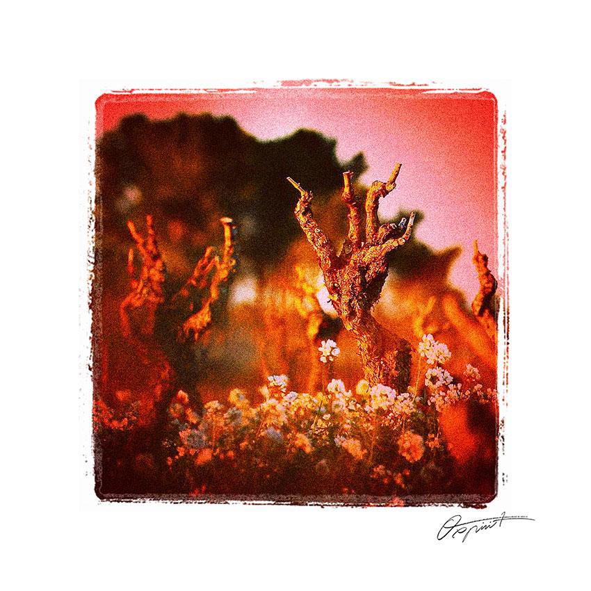 vigne l'hiver en Corbières avec fleurs