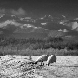 Moutons dans Les Monts Dolmes vues de Mirepoix Infrarouge