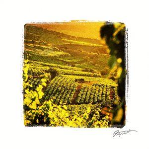 Vignes à Cascastel dans les Corbières