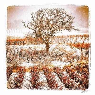 vignes sous la neige en Corbières